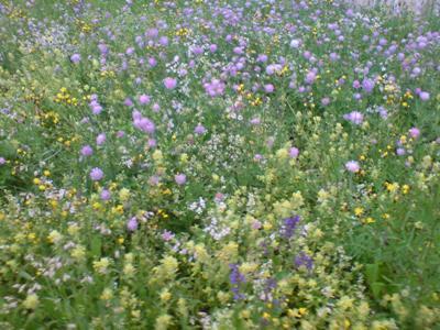 Tag der Biodiversität - die Magerwiese neben dem BAFU