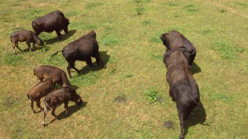 Bisons  im  Juraparc  bei Vallorbe