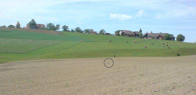 Feldhase kurz vor Oberried (Gemeinde Köniz)