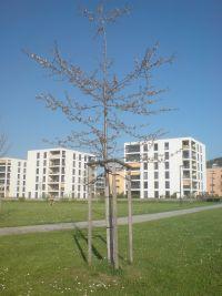 Vogelkirschbaum im April 2013