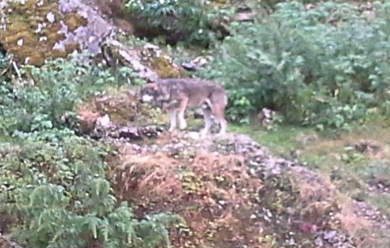 Wolf im Juraparc