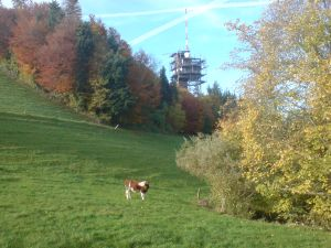 Ulmizberg Kuh am Waldrand